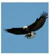 Bald Eagle in Ontario