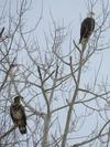 One Adult Bald Eagle and one juvenile