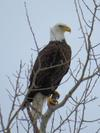 Bald Eagle in Perth County