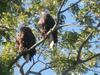 Two Bald Eagles in a tree, St Marys, Ontario
