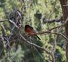 Orchard Oriole flew in with Baltimores