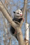 Possum in a tree