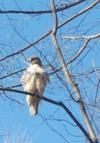 High Park Hawk