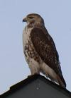 Is this a Cooper's Hawk?
