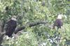The pair of Bald Eagles together