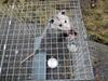 Possum in trap, Lakefield, Ontario