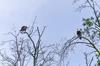 Pair of Bald Eagles - Mississauga, Ontario