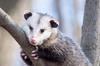 Portrait of a Possum