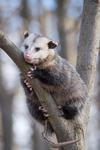 Possum in the Tree