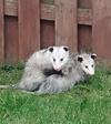 Possums in Upper Unionville area