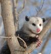 Opossum in a tree (also know as the Possum)