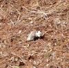 Spring Possum in Brant County