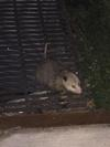 Possum in Toronto