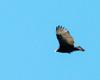 Ontario Turkey Vulture 3