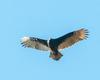 Ontario Turkey Vulture 4
