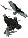 Turkey Vultures - from National Geographic