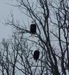 Pair of Bald Eagles in Eganville