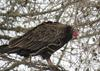 Turkey Vulture Huron County ON