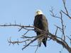 Bald Eagle, Upper Niagara Parkway