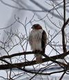 Waterloo Hawk