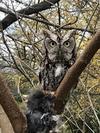 Mystery Owl in Sarnia