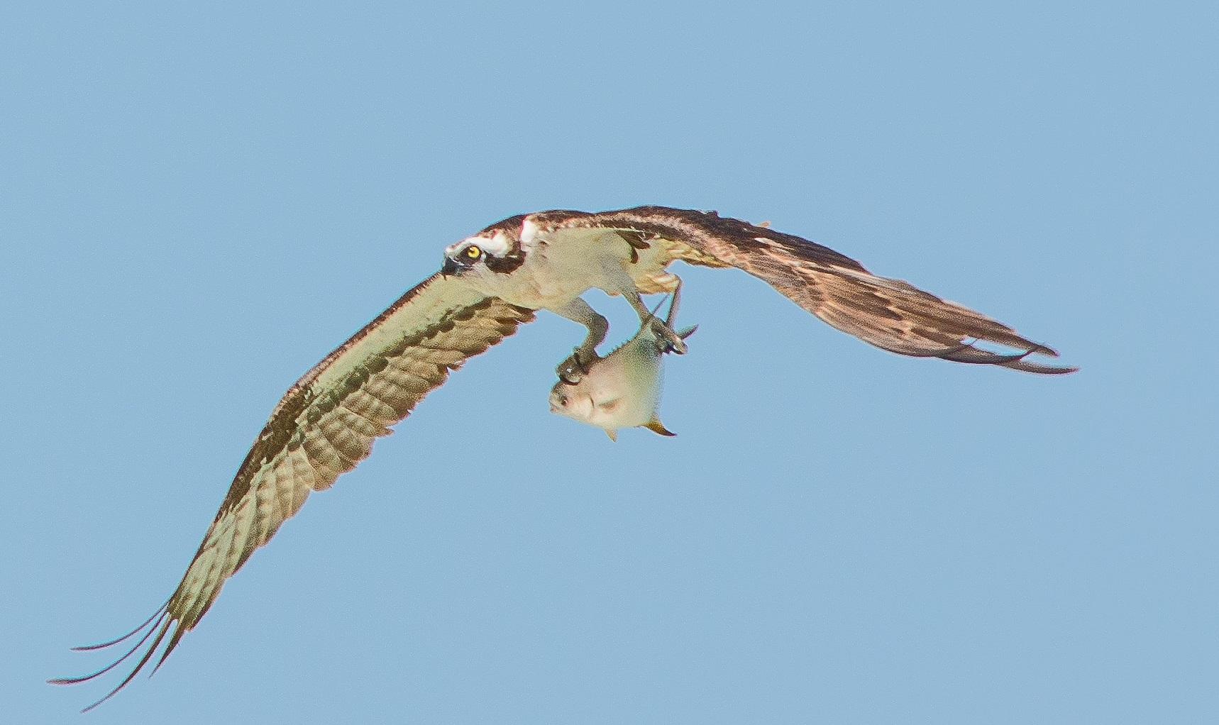 Osprey in Ontario
