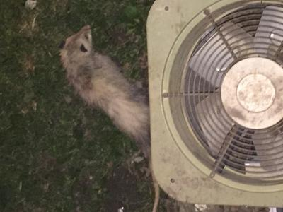 Possum living under Air Conditioner!
