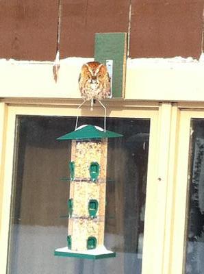 Little Owl at the bird-feeder