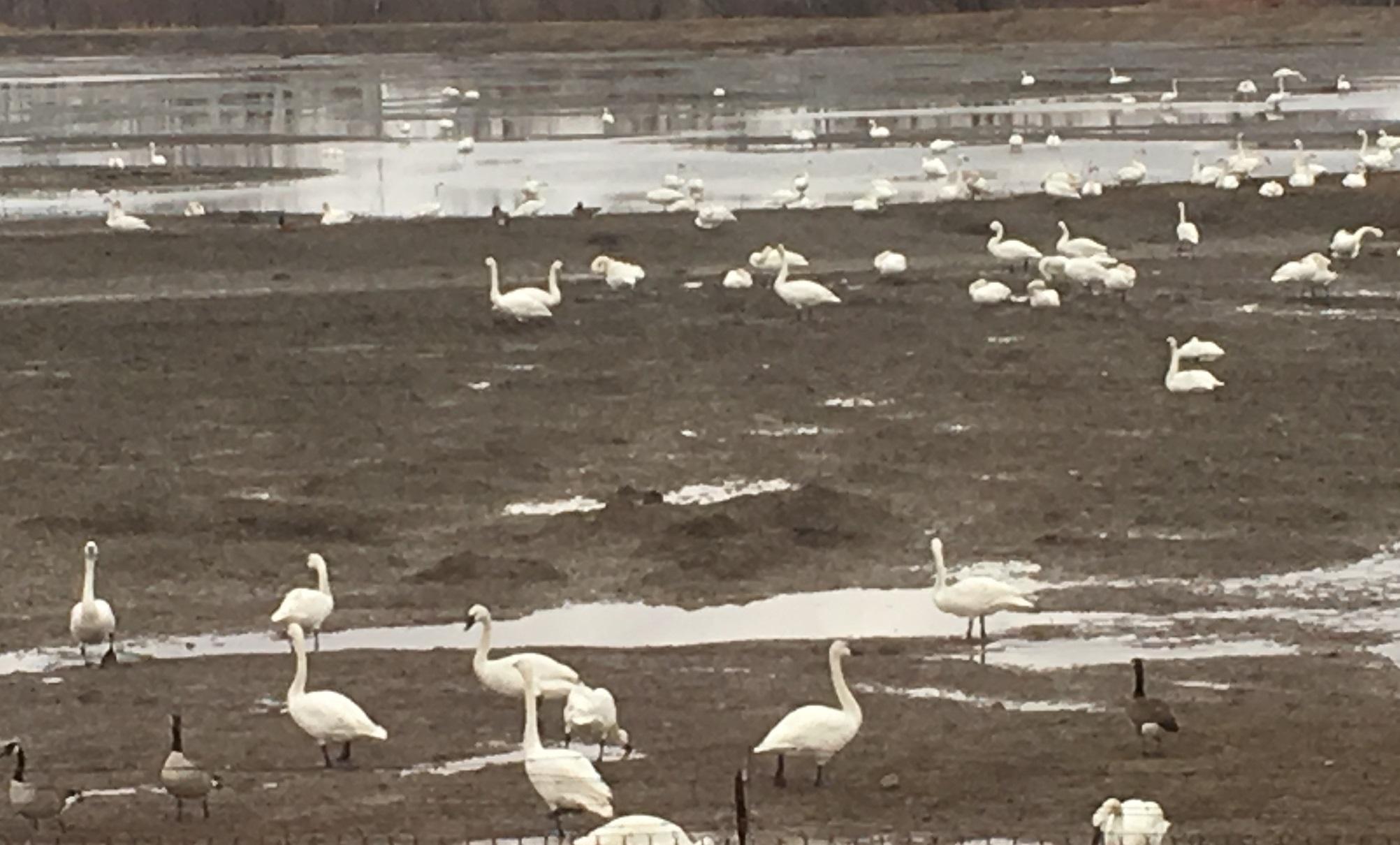 migrating Tundra Swans resting in Aylmer, Spring 2019