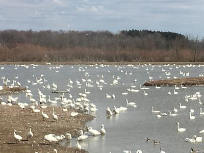Tundra Swan Spring migration 2018