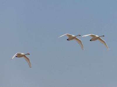 Swans coming in to land