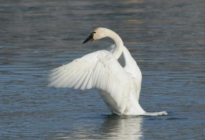 Tundra Swan near Grand Bend