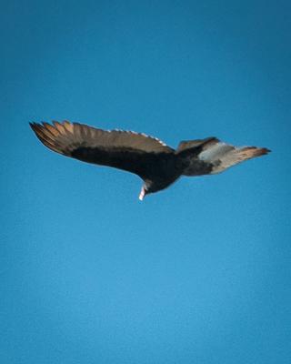 Ontario Turkey Vulture 1