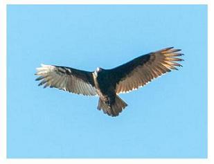 Turkey Vulture - by Bill Blurton
