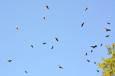 Turkey Vultures in flight