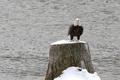 Bald Eagle in Wingham