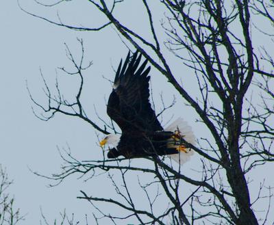 Eagle in Flight in Eganville