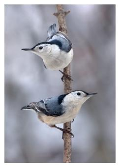 white breasted nuthatches standing on a branch