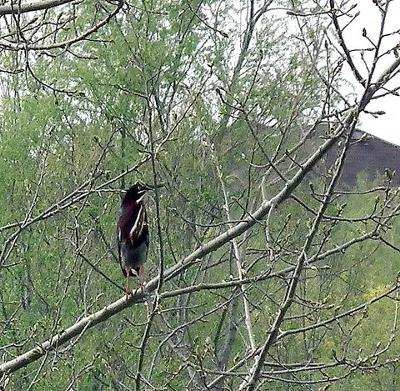 Mystery Bird, Georgetown Ontario