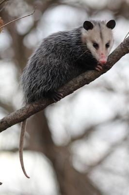 City Possum