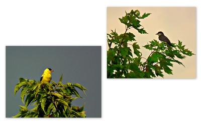 A Gold Finch and a Swallow