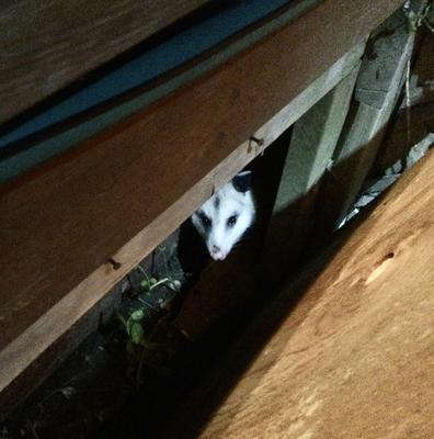 Possum under our deck