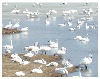 Tundra Swans - 2010