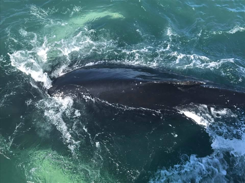 Humpback Whale, Iceland