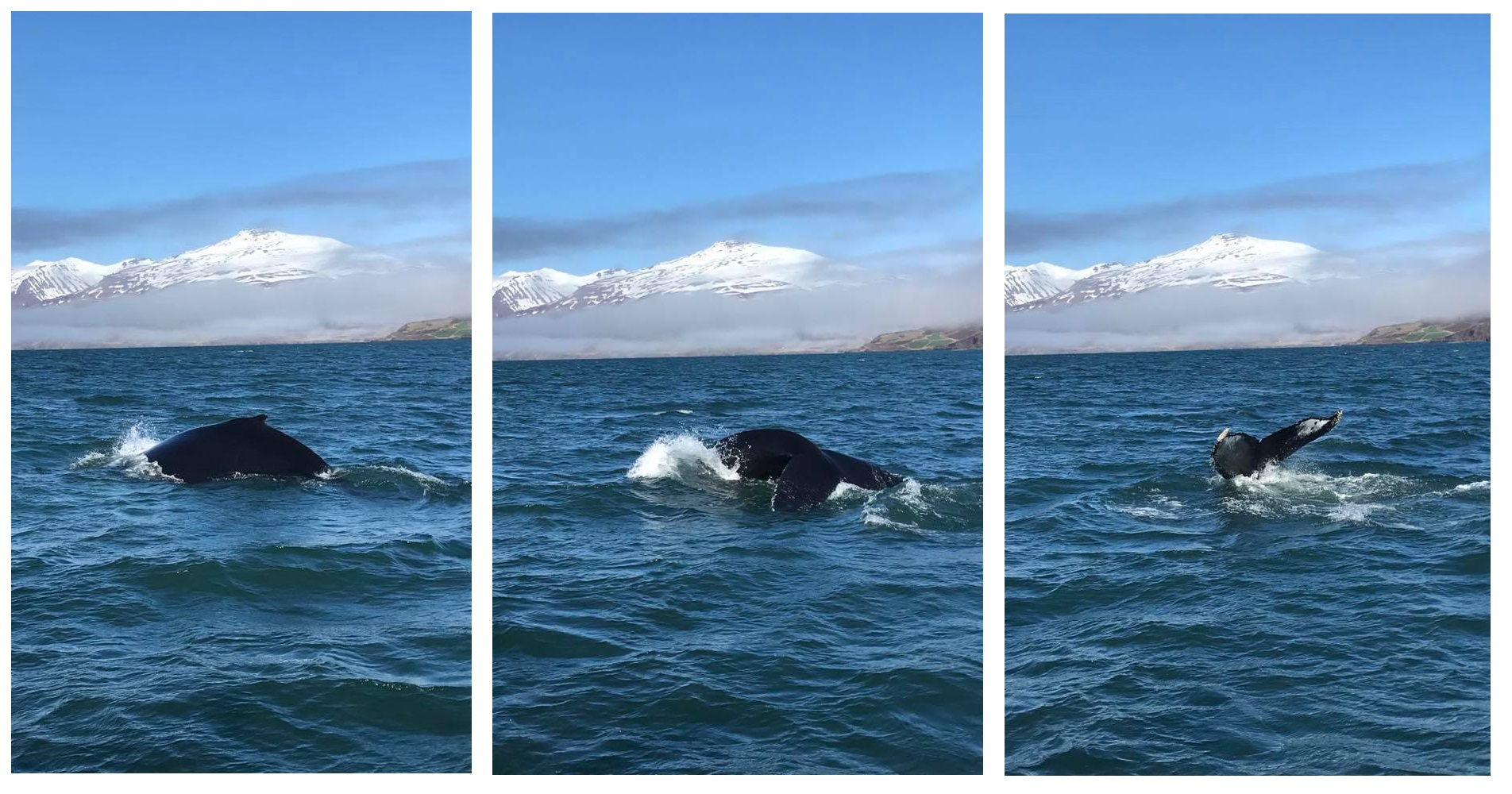 Three pictures of Humpback Whale, Hauganes, Iceland, May 2017
