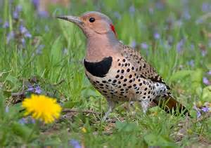 Northern Flicker in Ontario