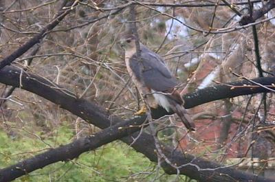 Falcon or Hawk in Oshawa