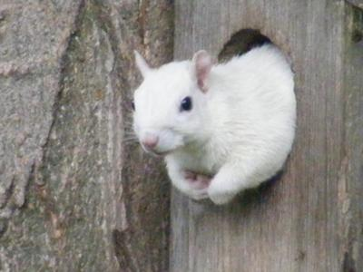 Hanover White Squirrel