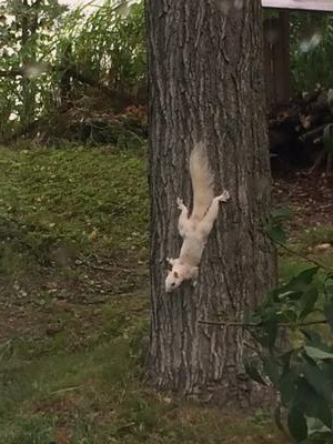 Morning Visitor - White Squirrel