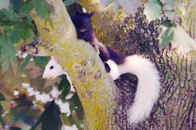 Black Squirrel and White Squirrel
